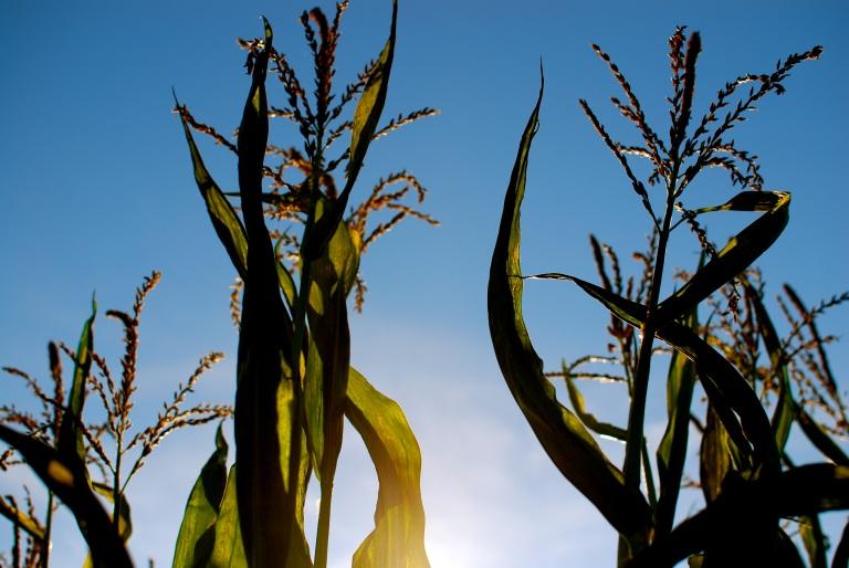 Corn and Sun