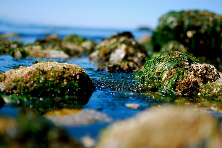 Rock Seaweed